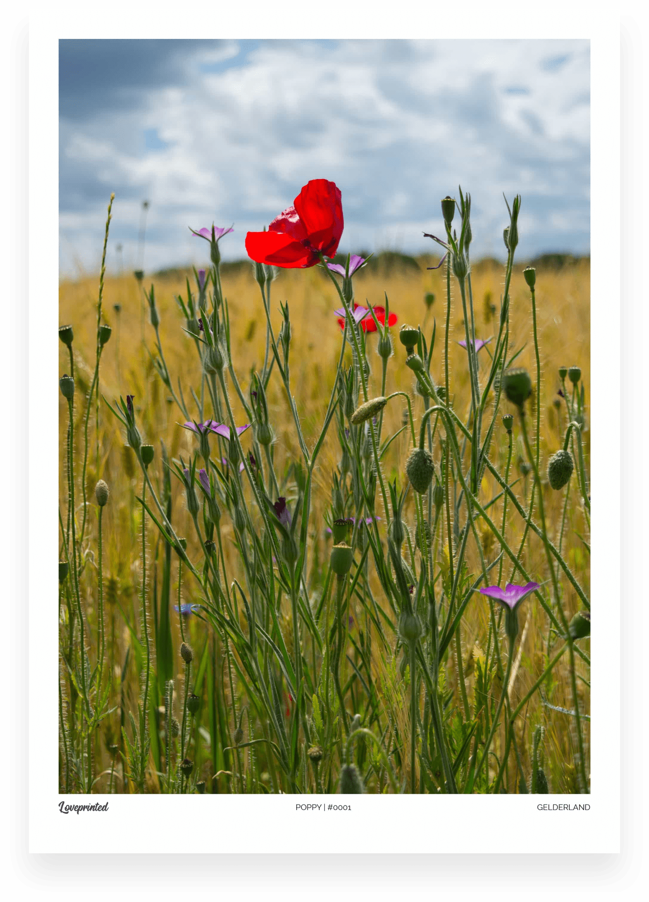 Poppy | An Image of a red poppy flower in a field made by Loveprinted