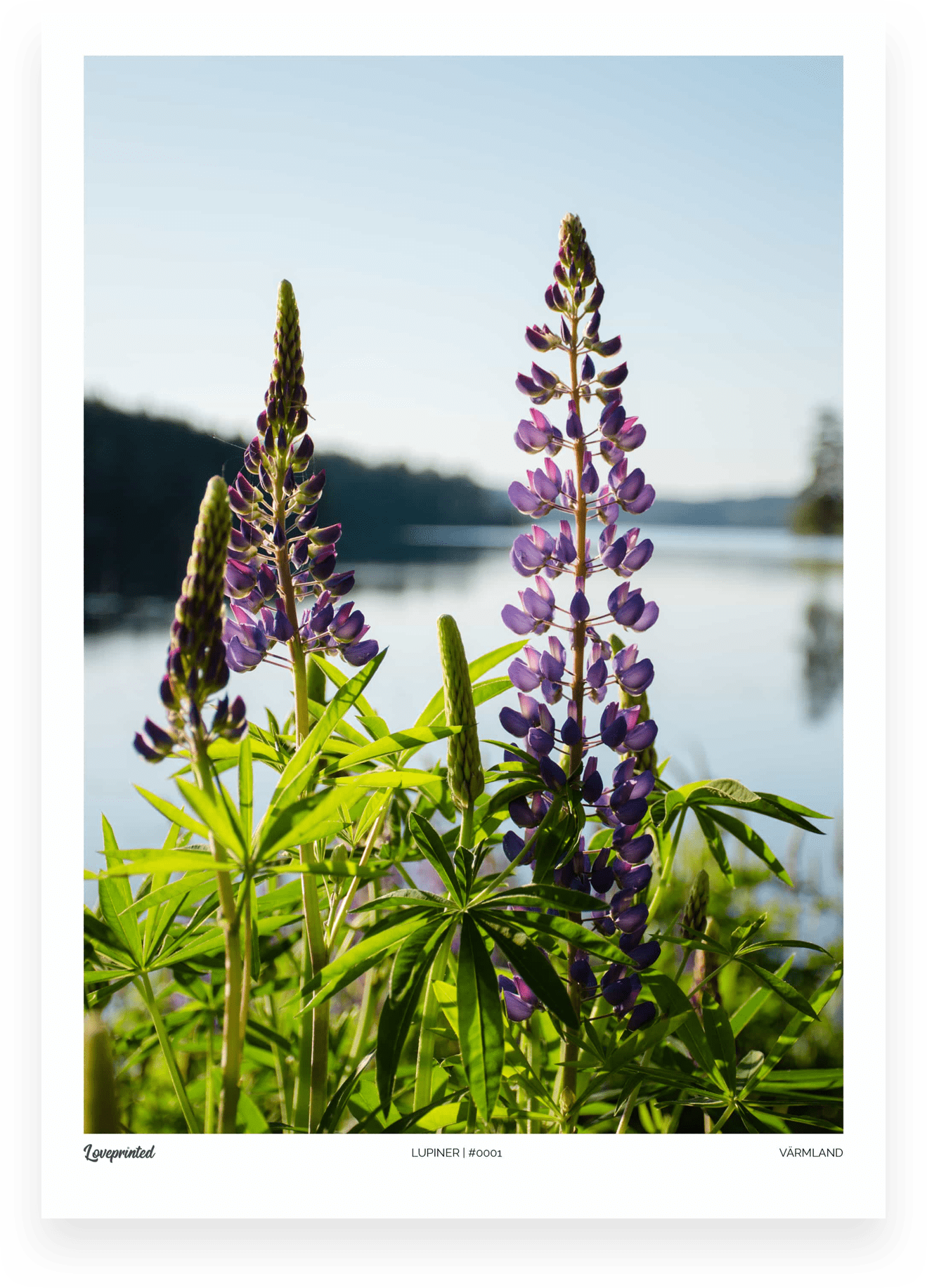 Lupiner | An Image of lupines with a lake in the background in Sweden made by Loveprinted